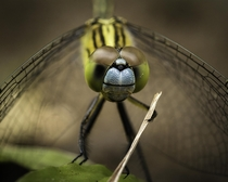 Portrait of a chalky percher dragonfly
