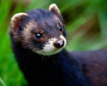 Portrait of a polecat mustela putorius -