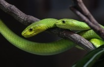 Portrait of Green Mambas Dendroaspis angusticeps