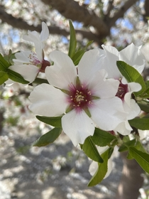 Possibly a plum or peach blossom original picture perks of living in agriculture rich California