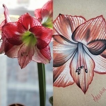 Posted my Amaryllis in bloom a couple weeks ago and redditor uRubyWhiteArt drew it WOW