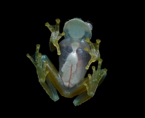 Powdered Glass frog Cochranella pulverata Geoff Gallice