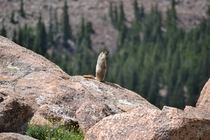 Prairie Dog Pikes Peak Colorado