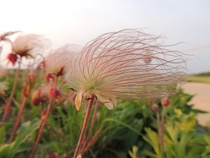 Prairie smoke Geum triflorum Northern Illinois