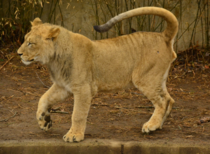 Prancing Queen Lion - Panthera leo