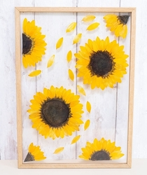 Pressed preserved and framed sunflowers Helianthus