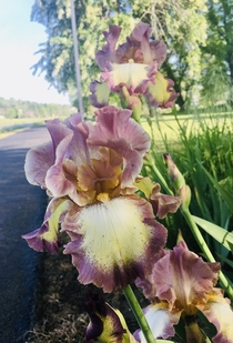 Pretty irises In my towns park