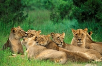 Pride of lions in Hwange National Park Panthera leo bleyenberghi