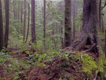 Primeval Forest in the Pacific Northwest