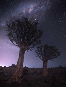 Probably one of the most unique looking trees with the soft glow of dawn - Quiver Tree Forest Namibia
