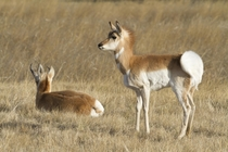 Pronghorn Doe in Alert Posture