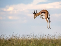 Pronking Springbok Mountain Zebra National Park South Africa photo by Charles Jorgensen