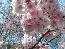 Prunus Introrsa -Winter Cherry