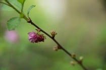 Prunus triloba the Flowering Almond - got lucky with this shot
