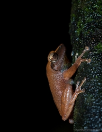 Pseudophilautus amboli the Amboli bush frog is a rare shrub frog species endemic to the Western Ghats India