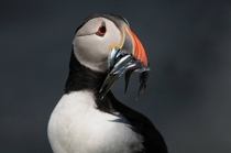Puffin with Sandeels - By Kevin Hazelgrove more of the puffins in comments x