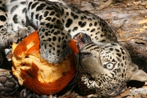 Pumpkin Carving Leopard Style Panthera pardus - Reno from Big Cat Rescue in Tampa Florida