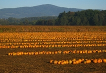 Pumpkins on a field in Austria ready to be picked up