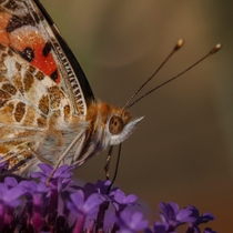 Punk princess Painted Lady sipping on a Salvia in our garden Love the ginger hair OC