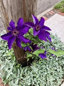 Purple clematis in Columbus OH