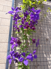 Purple Clematis is always so gorgeous on a sunny day