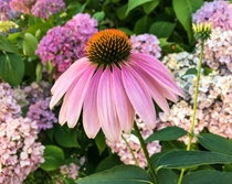 Purple Coneflower Echinacea purpurea growing among Hydrangeas