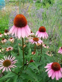 Purple Coneflower Echinacea purpurea with Lavender in the background