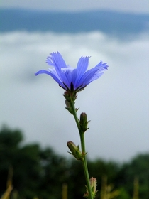 Purple flower with the Blue Ridge Mountains in the background taken along the Blue Ridge Parkway June