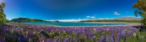 Purple Lupins flowering on the edge of Lake Tekapo New Zealand
