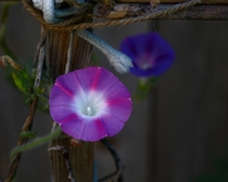 Purple Morning Glory in front of violet one OC