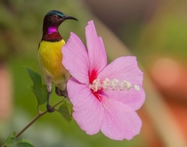 Purple-rumped Sunbird from Mumbai India