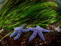 Purple sea stars and eel grass flourish in the waters off the coast of British Columbia Photo by Thomas P Peschak
