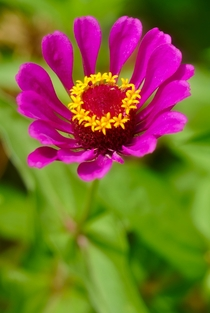 Purple Zinnia  - From Leu Gardens Orlando Florida