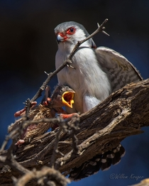 Pygmy Falcon with kill Polihierax semitorquatus by Willem Kruger
