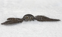 Pygmy owl in the snow