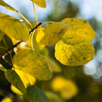 Quaking Aspen Populous tremuloides in the fall