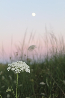 Queen Annes lace Daucus carota silhouetted against the dunes Lake Huron ON