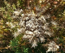 Queen Annes Lace Gone to Seed