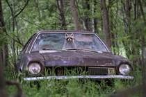 Raccoon pokes its face out of an abandoned s Ford Pinto Jason Bantle