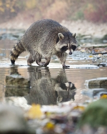 Raccoon Toronto Canada Photo credit to Oli Moorman