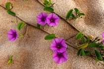Railroad vineBeach morning glory Ipomoea pes-caprae