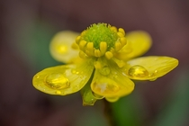 Rain droplets on a sagebrush buttercup Ranunculus glaberrimus