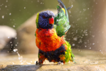 Rainbow lorikeet shaking wings after bathing by Kseniya Murach