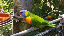 Rainbow Lorikeet Trichoglossus haematodus  x At Loro Park Tenerife Taken on Galaxy S