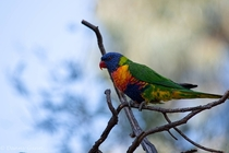 Rainbow Lorikeet Trichoglossus moluccanus perched in a tree x