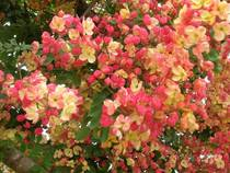 Rainbow shower tree Cassia javanica Hawaii