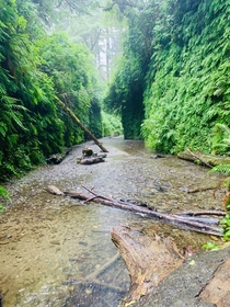 Rainy day in Fern Canyon Jurassic Park  was filmed here and its one of my favorite Northern California treasures