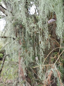 Ramalina menziesii the state lichen of California
