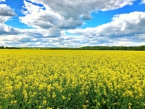 Rapeseed fields used to make canola oil