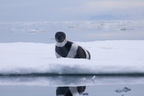 Rare adult male ribbon seal Russia Ozernoy Gulf